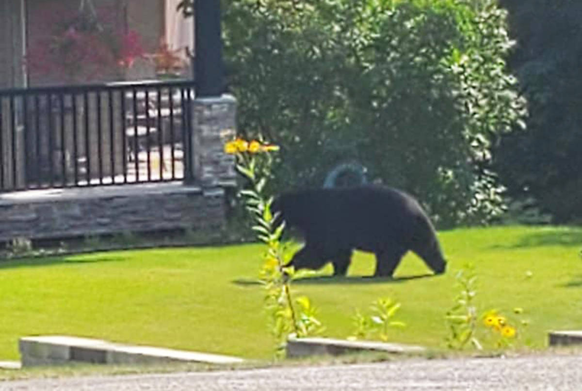 This black bear wreaked some havoc on Fawn Rd. on Sept. 12. It damaged a plum tree and ate all of its fruit. (Submitted photo)