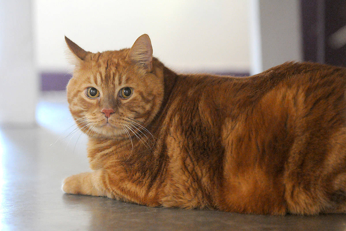 """""""When pets become overweight, it places them at greater risk for heart disease, respiratory problems, diabetes and more,"""" writes Natalie Asaro. Pictured here is overweight cat, Jasper, on Nov. 28, 2019 when he was up for adoption at the Chilliwack SPCA. (Jenna Hauck/ Chilliwack Progress file)"""