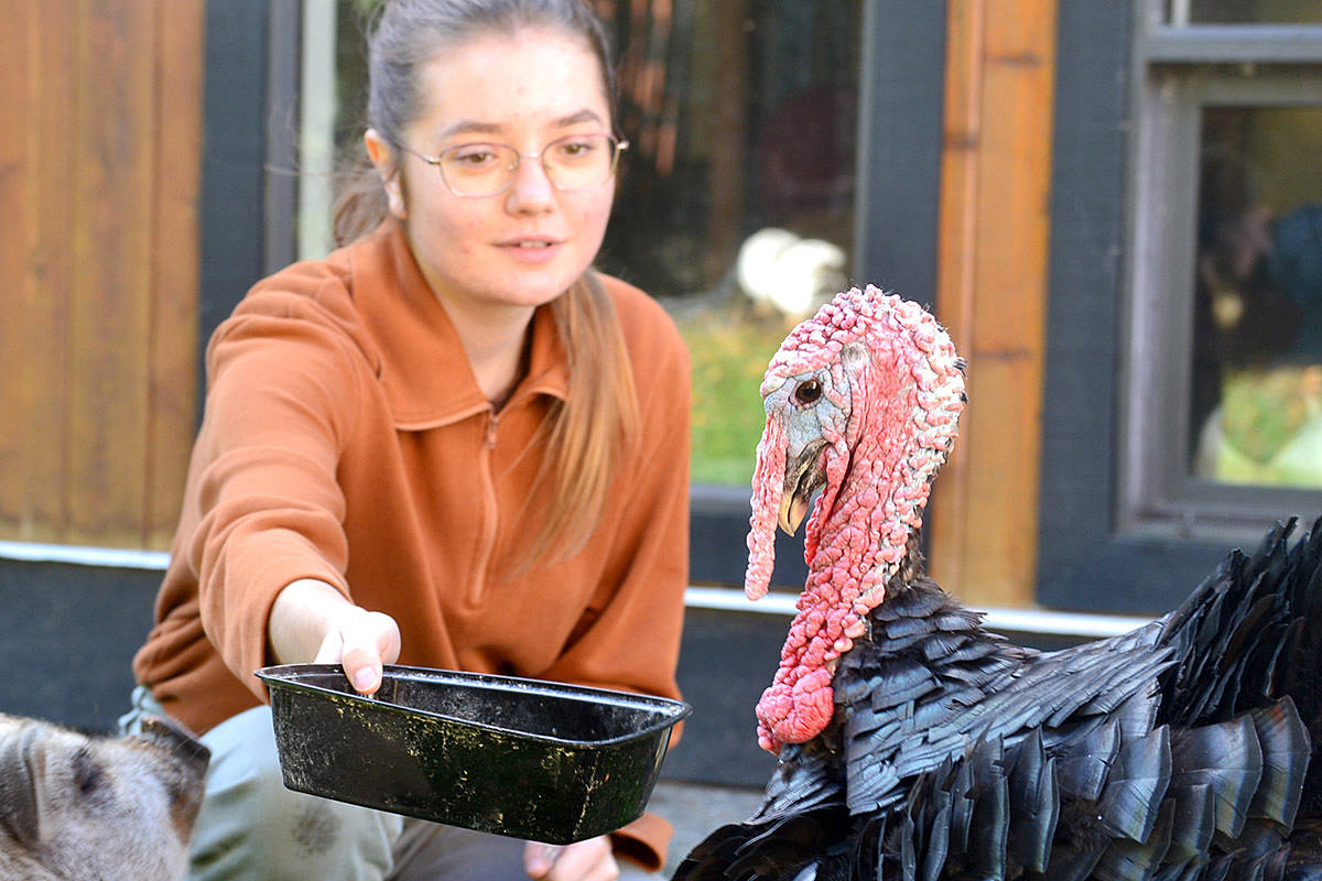 Tide turns for turkeys at Aldergrove sanctuary