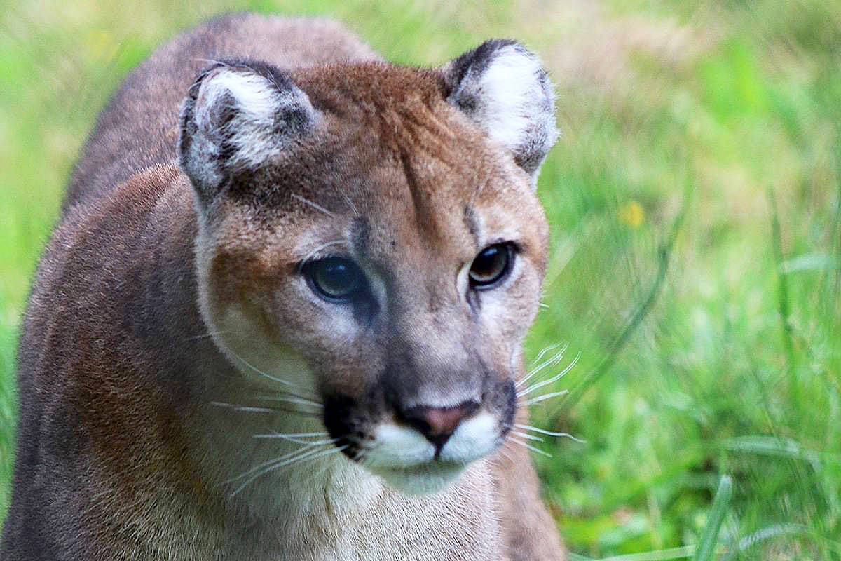 Some form of large cat (not necessarily the cougar pictured here) was spotted in a private garden in Langley City on Thanksgiving Day. Local residents who saw it, reported to authorities and want to get the word out to others in the area. (Black Press Media files)