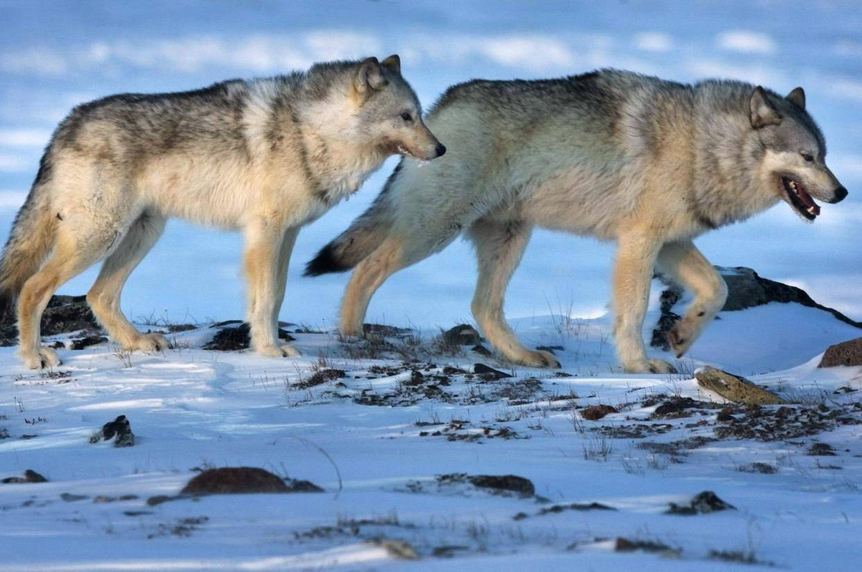 Wolves roam the tundra near the Meadowbank Gold Mine in the Nunavut on Wednesday, March 25, 2009. THE CANADIAN PRESS/Nathan Denette