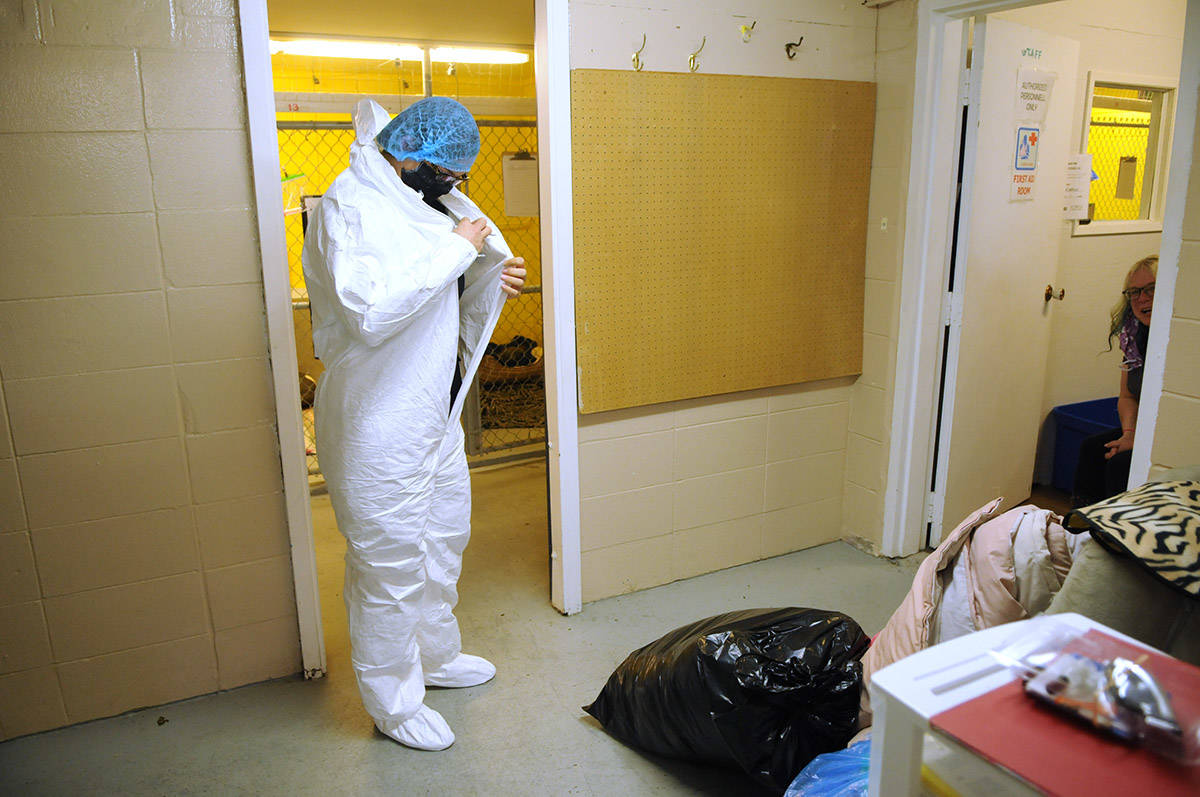 Chloé MacBeth, Chilliwack SPCA branch manager, suits up in full PPE gear to see some of the 11 dogs in quarantine at the shelter on Wednesday, Oct. 7, 2020. (Jenna Hauck/ Chilliwack Progress)