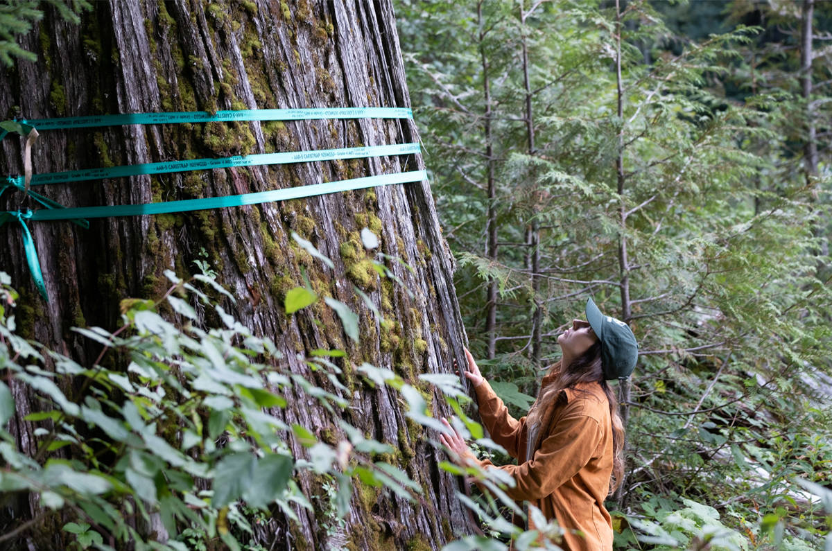 Protesters measure old growth trees set to be logged in Argonaut Creek, north of Revelstoke. The area is habitat for endangered caribou. (Submitted by Wilderness Committee)