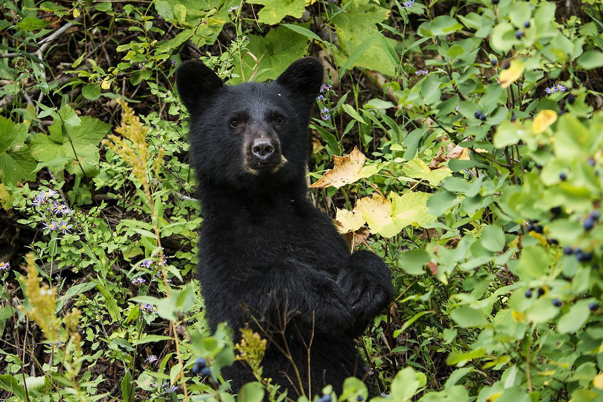 A bear similar to this black bear is believed responsible for killing a llama in Saanich on Oct. 19. (Black Press Media file photo)