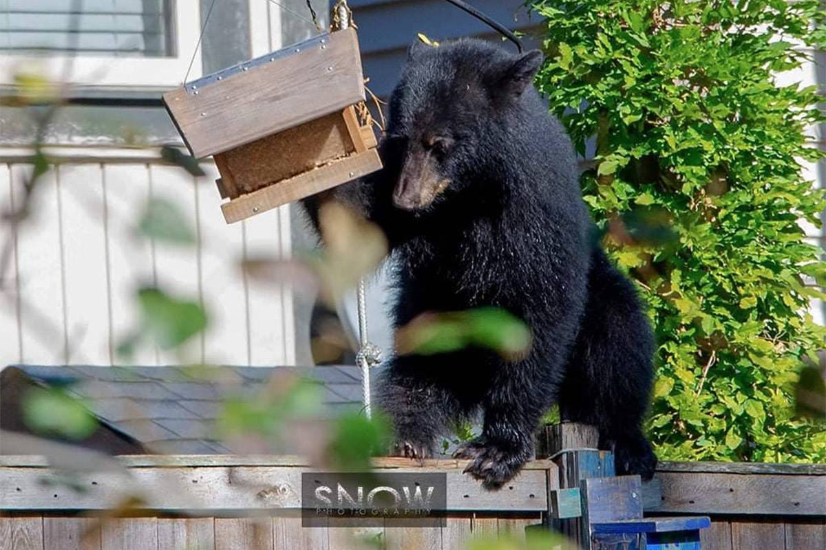 A black bear targets a bird feeder by the Rotary Trail along the Vedder River in Chilliwack on Oct. 7, 2020. (William Snow photo)