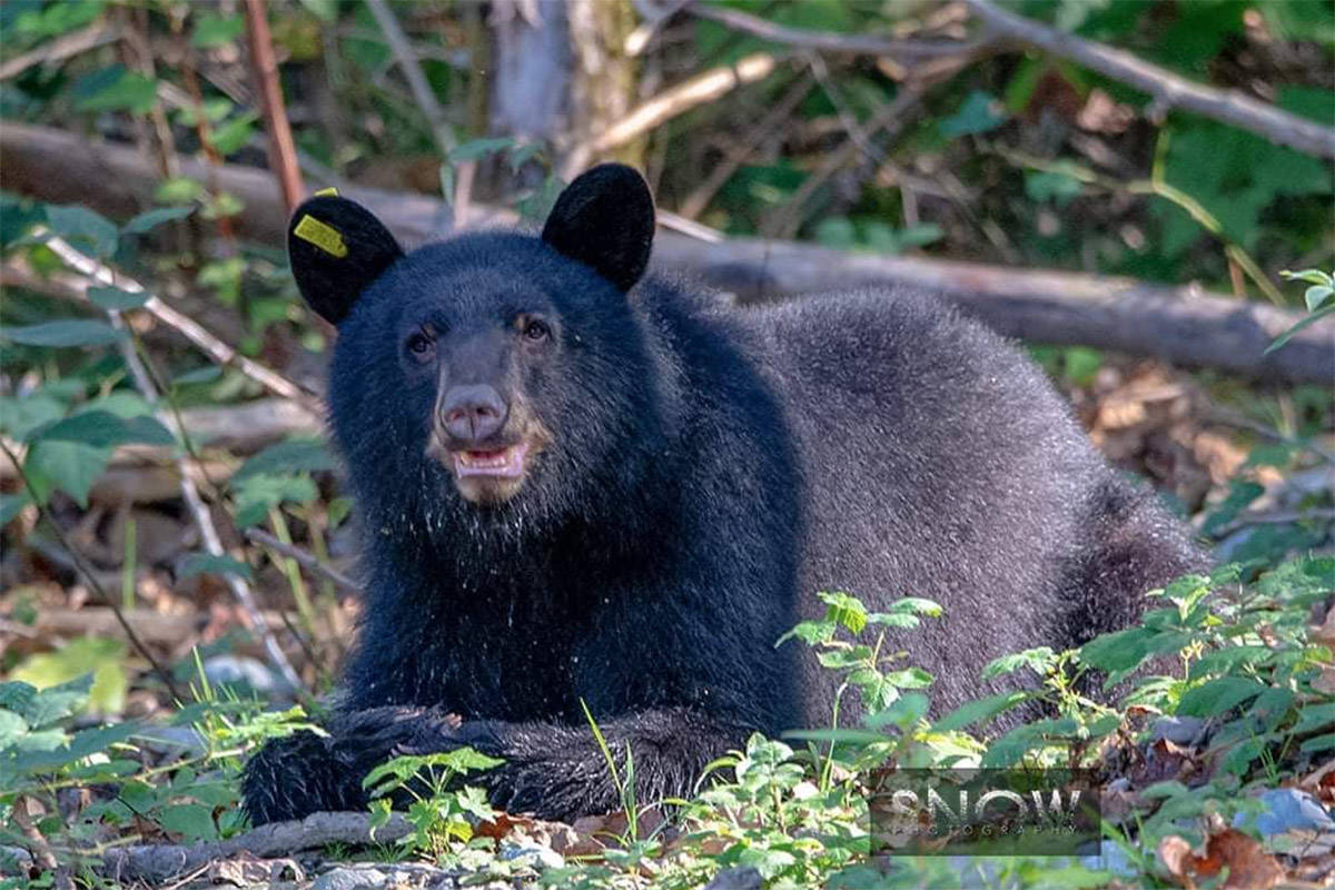A black bear in the woods off the Vedder Rotary Trail in Chilliwack on Oct. 7, 2020. (William Snow photo)