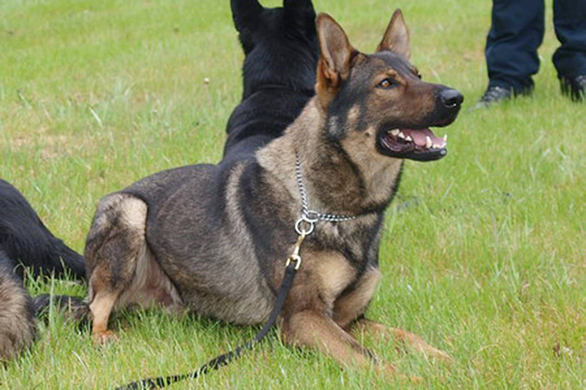 A file photo of an RCMP dog. (Campbell River RCMP photo)