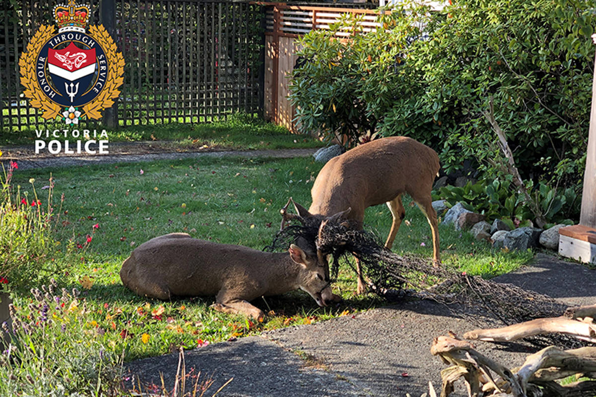 VicPD and B.C. Conservation Officer Service teamed up to free two bucks who were entangled in a fishing net and dragging a wheelbarrow sized piece of driftwood behind them. (VicPD)