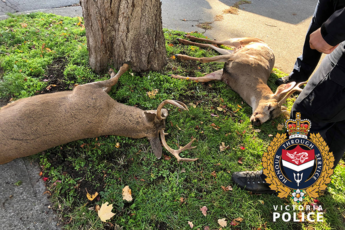 VicPD and B.C. Conservation Officer Service tranquilized two bucks to free them from a fishing net and dragging a wheelbarrow sized piece of driftwood behind them. (VicPD)