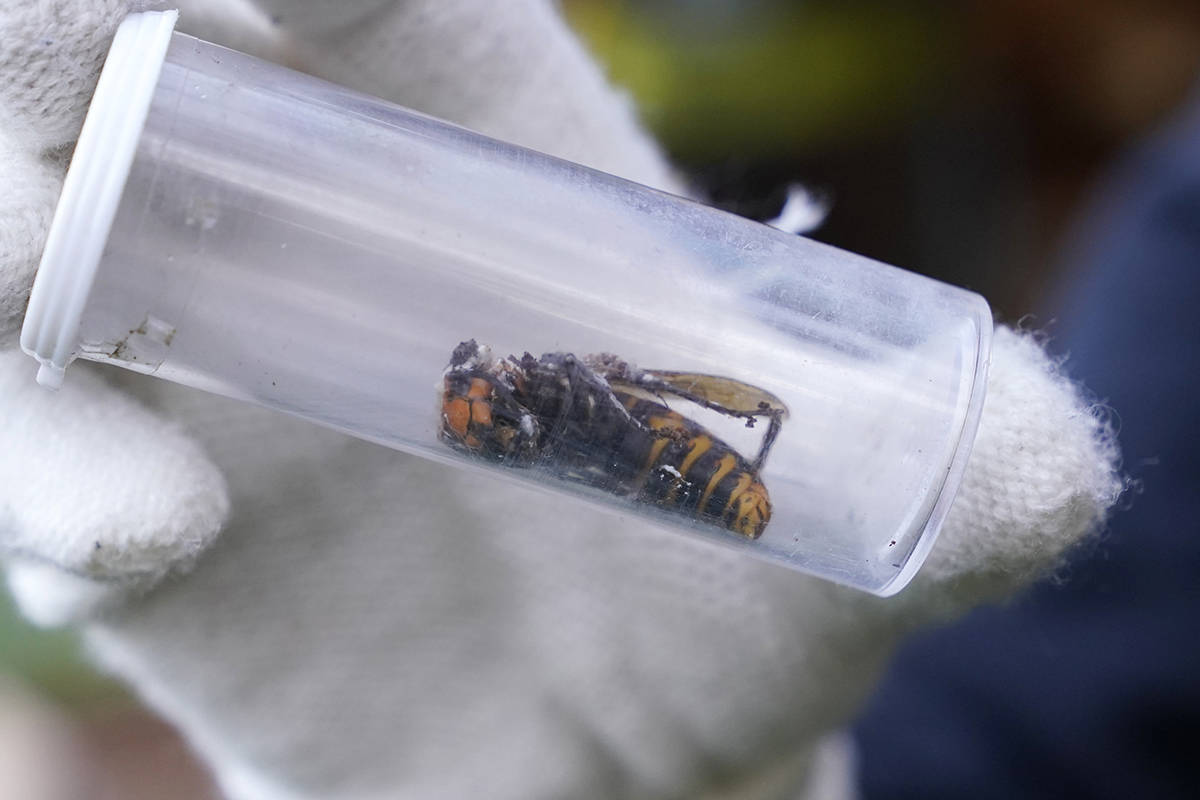 Washington State Department of Agriculture workers, wearing protective suits and working vacuumed a nest of Asian giant hornets from a tree Saturday, Oct. 24, 2020, in Blaine, Wash. Scientists in Washington state discovered the first nest earlier in the week of so-called murder hornets in the United States and worked to wipe it out Saturday morning to protect native honeybees. (AP Photo/Elaine Thompson)