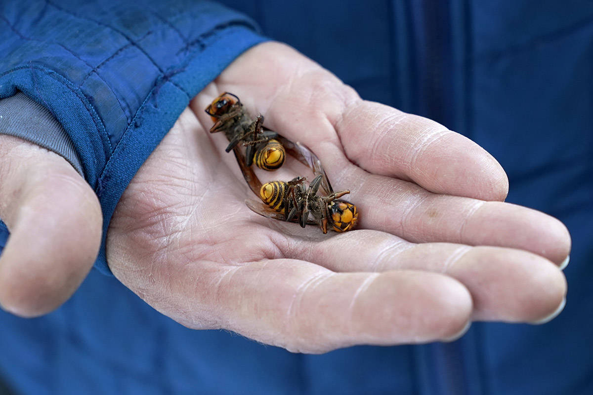 A Washington State Department of Agriculture workers holds two of the dozens of Asian giant hornets vacuumed from a tree Saturday, Oct. 24, 2020, in Blaine, Wash. Scientists in Washington state discovered the first nest earlier in the week of so-called murder hornets in the United States and worked to wipe it out Saturday morning to protect native honeybees. (AP Photo/Elaine Thompson)