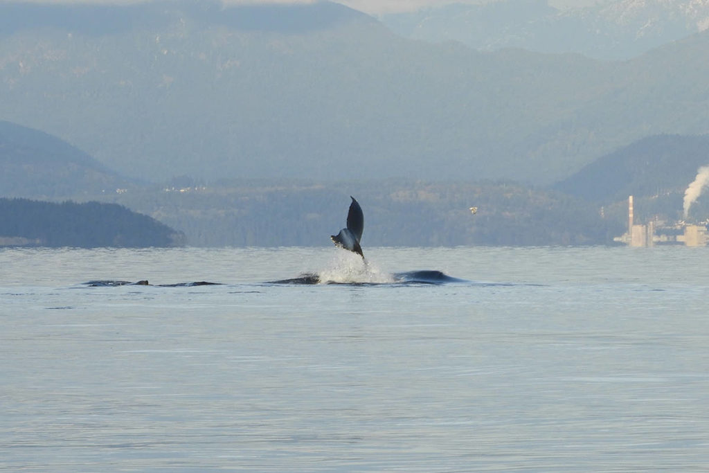 Carolyn and Steve Touhey came across a pod of humpback whales while on their boat Sunday, Oct. 25. Photo supplied
