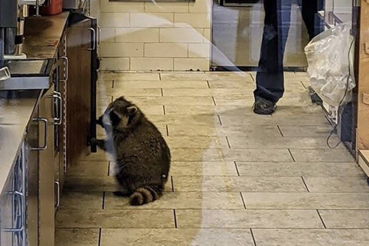 A raccoon paid a visit to a Toronto Tim Hortons on Oct. 22, 2020. (shecallsmedrew/Twitter)
