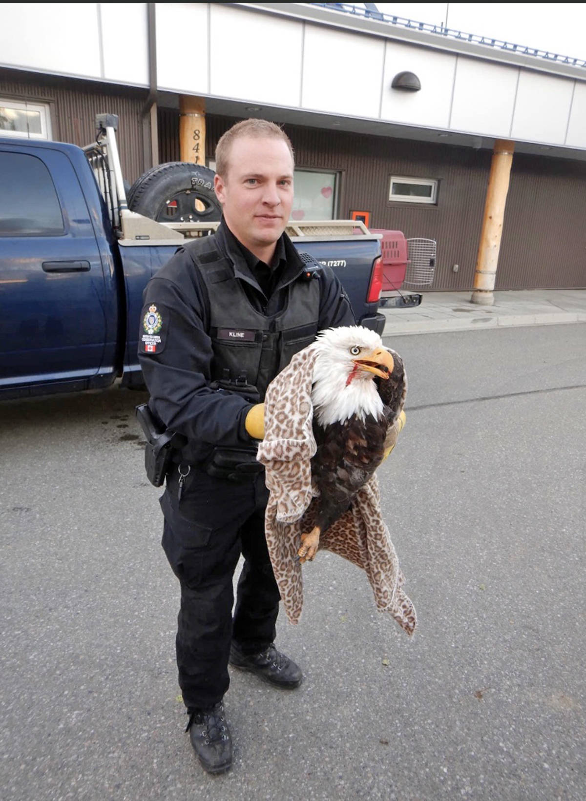 100 Mile Conservation officer Joel Kline gingerly holds an injured but very much alive bald eagle after extracting him from a motorist's minivan. (Photo submitted)