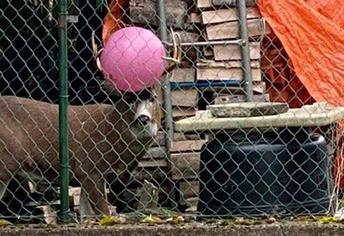 A deer was spotted in October 2020 in Prince Rupert, B.C., with a bright pink yoga ball stuck in its antlers. (Kayla Vickers/Chronicles Of Hammy The Deer Official Page)