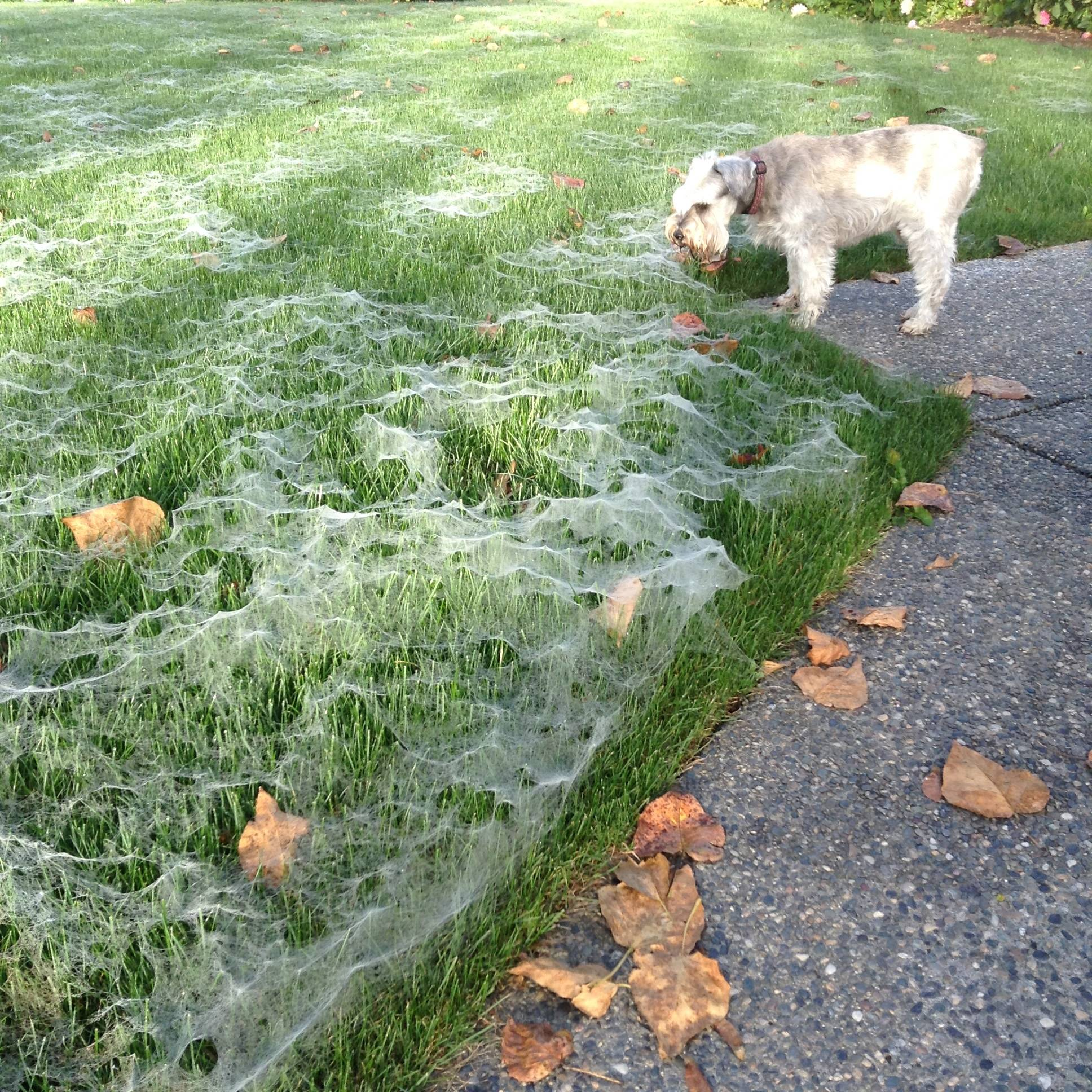 Birgit Kiilerich captures her dog Oscar curiously investigating her web-covered lawn at her home along the Fraser River off River Road. (Linda Kiilerich)