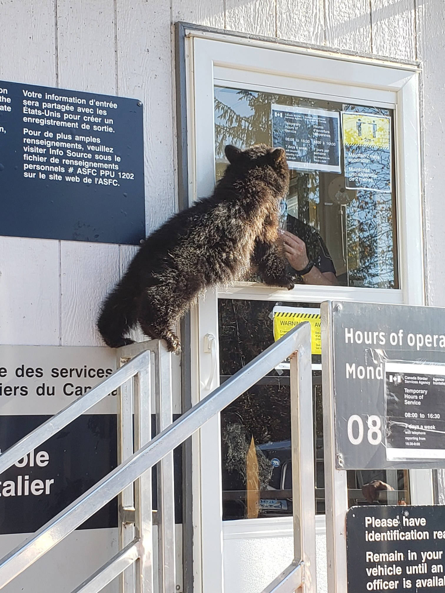 Annie a 21.2 lb bear cub showed up at the Stewart-Hyder border this morning and was captured and is now settling in at the Smithers Northern Lights Wildlife Shelter. (Canada Border Services Agency photo)
