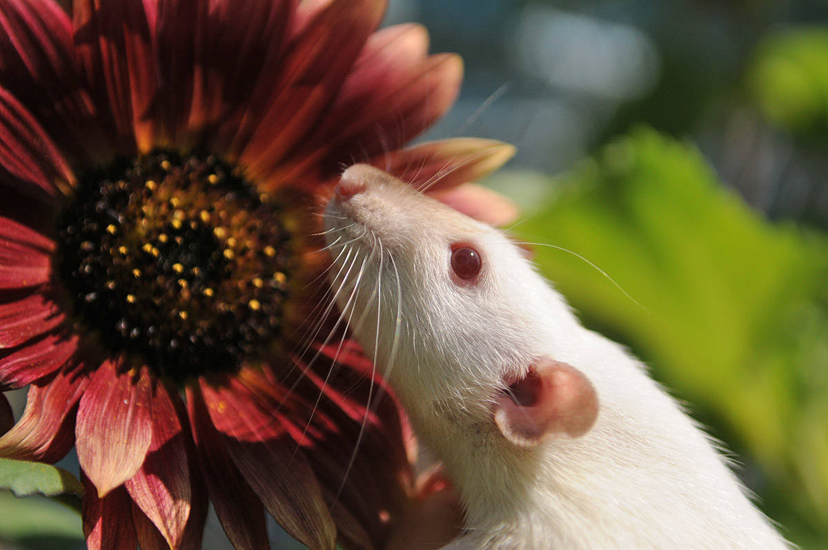 On Thursday, Nov. 12 people will be celebrating Fancy Rat & Mouse Day. Seen here on July 29, 2020 is Mercy, a rat who was up for adoption at the Chilliwack SPCA earlier this year. (Jenna Hauck/ Chilliwack Progress file)