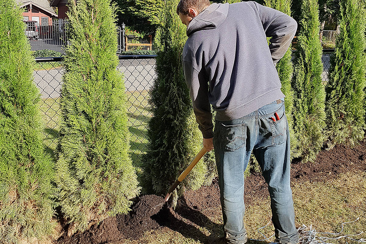 Perfect time to plant a hedge, but in case there's not consistent rain, remember to water. (Pam Erikson/Special to Langley Advance Times)