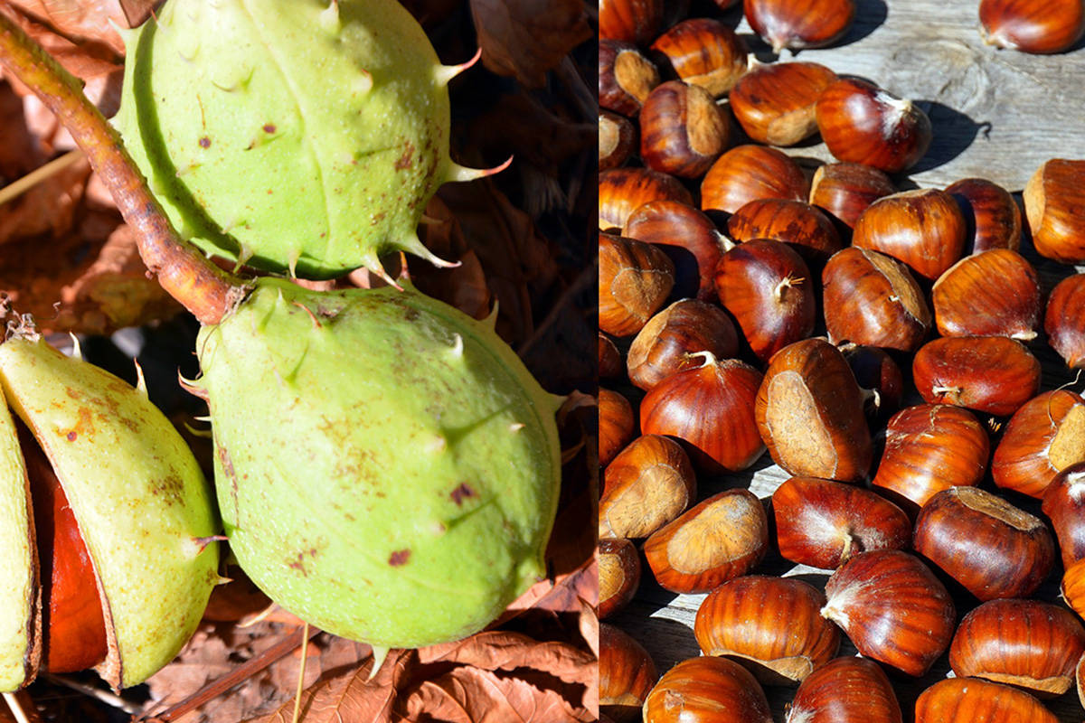Horse chestnut (left) has a more fleshy pod but the nuts, which are more round in shape, are toxic. Edible chestnuts (right) have a tassel on one end. (Peggy Choucair photo on the left) (Matthias Böckel photo on the right)