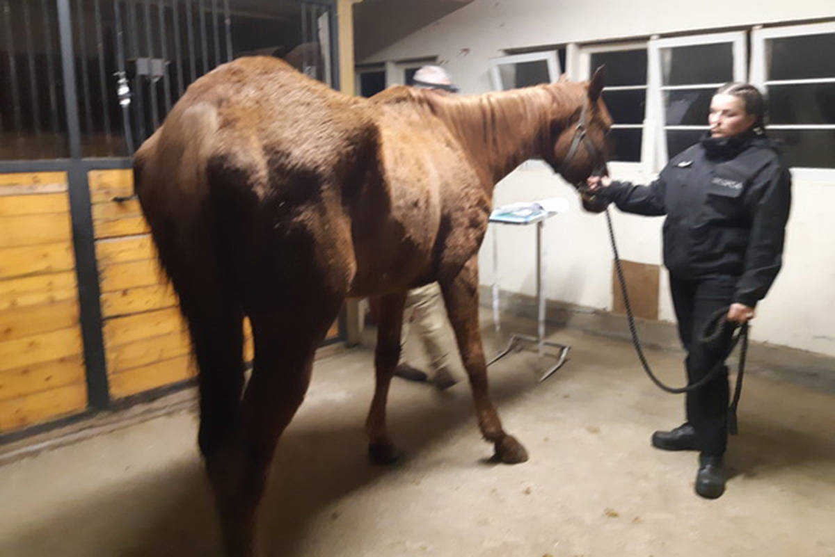 One of the seized horses with a BC SPCA worker. The horses were suffering from malnutrition, dental issues, parasites, skin issues and hoof injuries, according to the BC SPCA. Photo courtesy of BC SPCA.