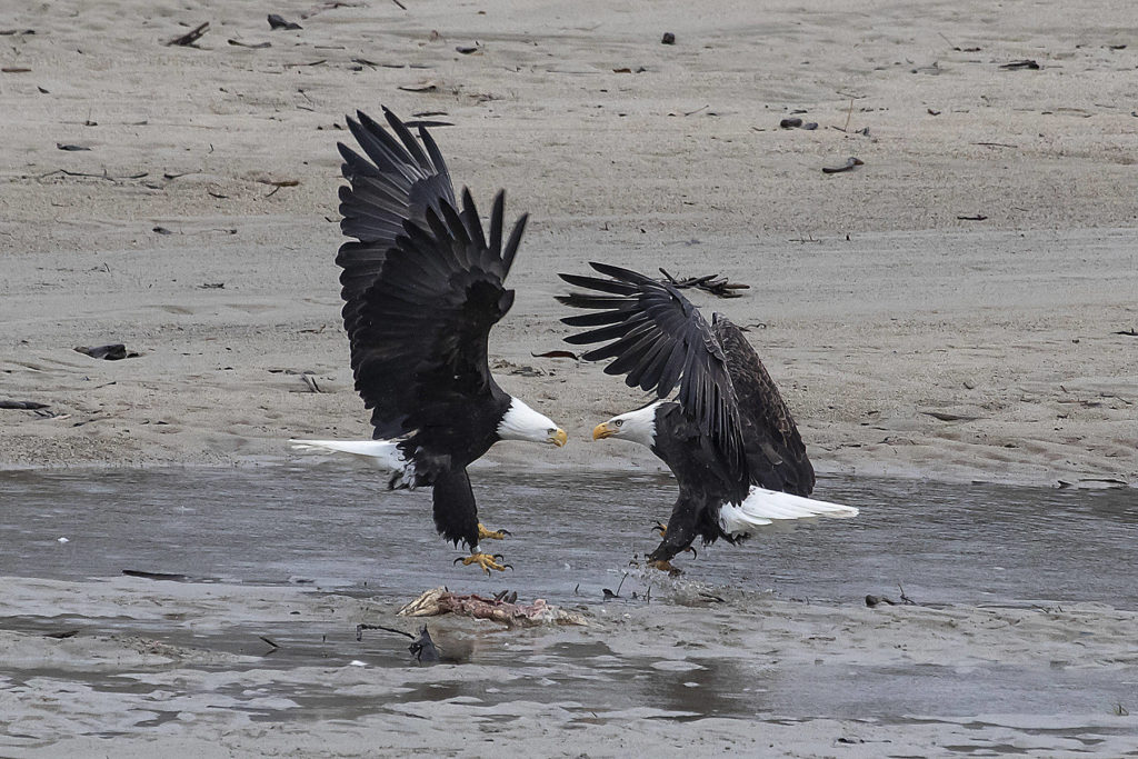 Organizers of the Fraser Valley Bald Eagle Festival have decided to end the event after more than 20 years. (Bob Friesen File Photo)