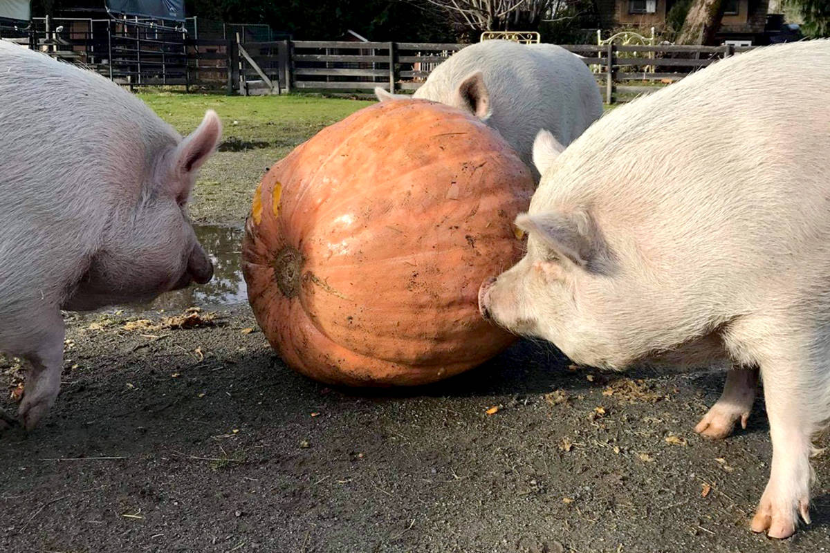 The pigs at Aldergrove-based Happy Herd farm were gifted a large pumpkin from Vancouver vegan restaurant MeeT. (Tiffany Akins/Special to the Aldergrove Star)