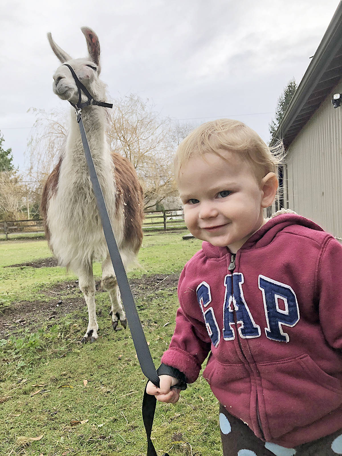 Daisy the llama allows herself to be led by one-year-old Porter Milton. The 15-year-old Daisy is described as surprisingly 'mild-tempered' despite being in pain from an untreated abscess. She was taken in by Kensington Prairie Farm in Aldergrove, which has launched an online fundraiser to pay for her surgery. (Kensington Prairie Farm/Special to Langley Advance Times)