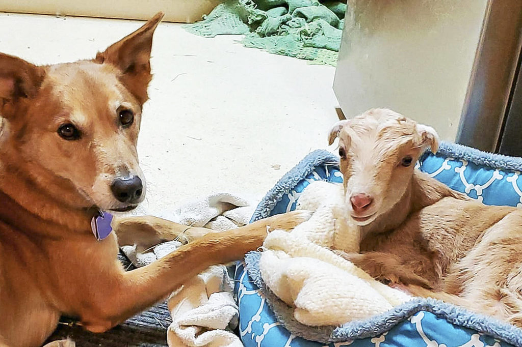 Zuri the baby goat who recently arrived at the Twin Hearts Animal Sanctuary. She will need a prosthetic leg to replace the one she lost to frostbite. (Contributed)