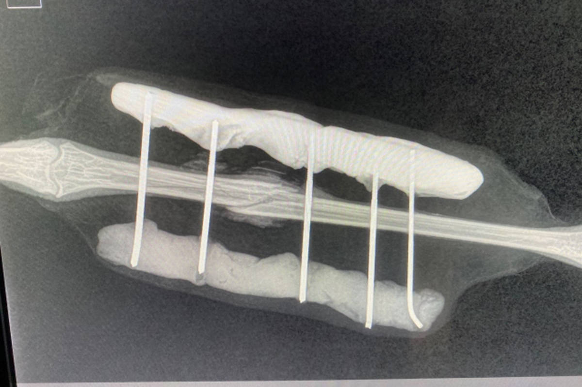 """An X-ray of """"Fraser' the crane's fractured leg. (Special to the News)"""