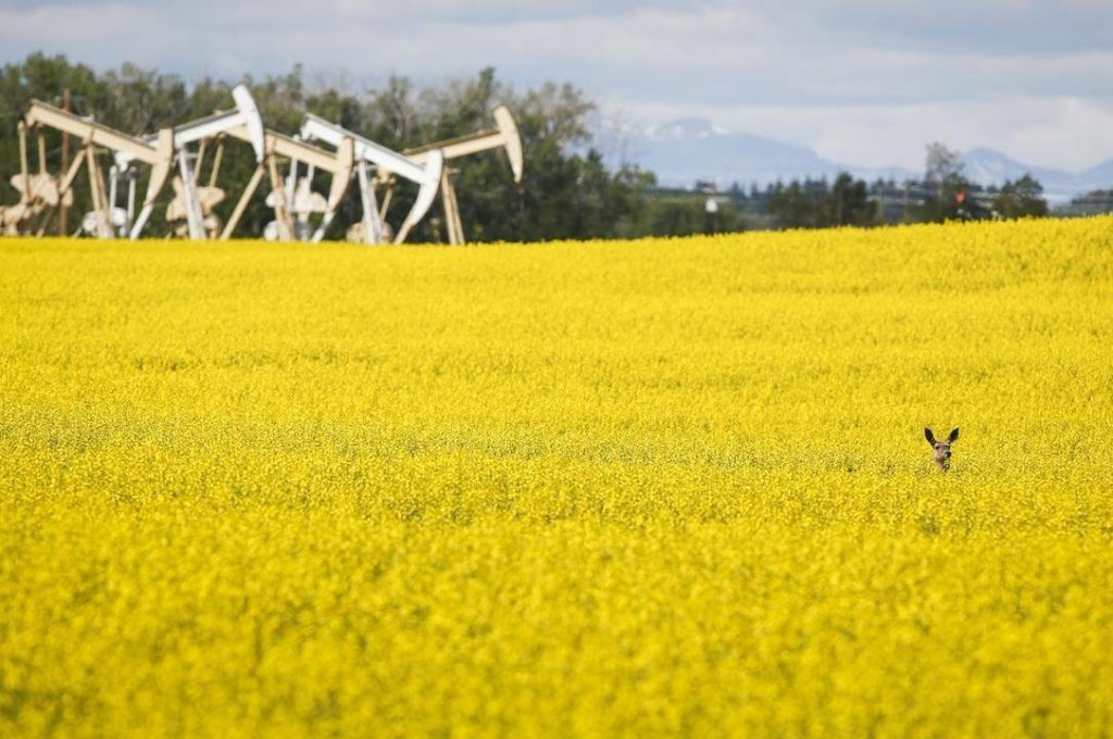 Pumpjacks draw oil out of the ground as a deer stands in a canola field near Olds, Alta., Thursday, July 16, 2020. The Canada Energy Regulator says we will still heavily rely on fossil fuels over the next 30 years even with a bigger carbon tax and other new climate change policies. THE CANADIAN PRESS/Jeff McIntosh