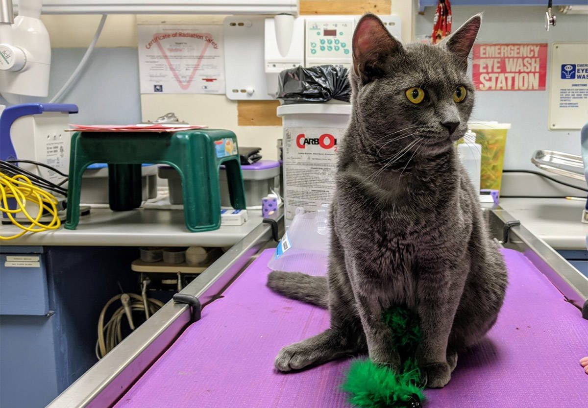 Geiger is the sole survivor of a recent at-home neutering attempt in Vancouver. On Nov. 24, 2020, the BC SPCA issued a plea for pet owners to not attempt these surgeries themselves. (BC SPCA handout photo)
