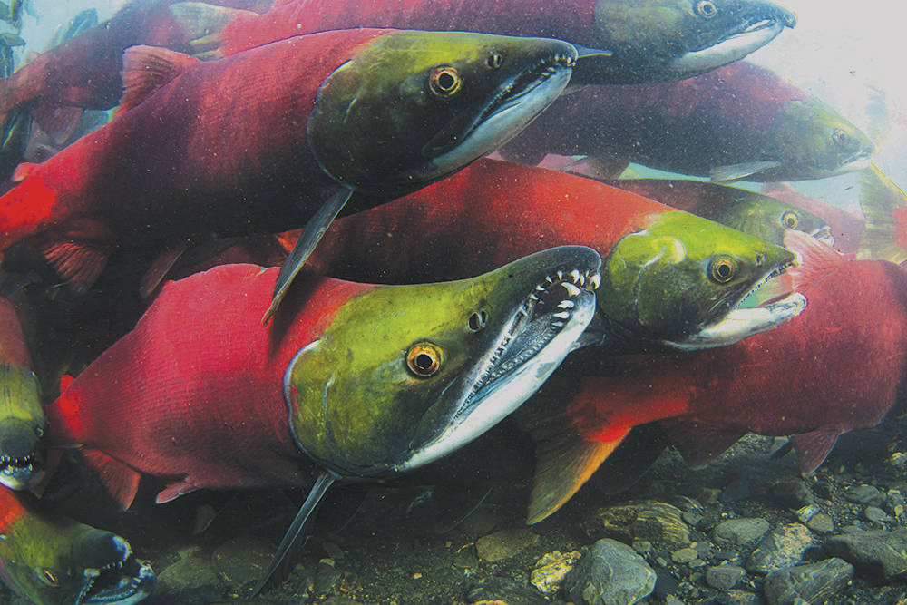 B.C. projects targeting the restoration of sockeye salmon stocks in the Fraser and Columbia Watersheds will share in $10.9 million of federal funding to protect species at risk. (Kenny Regan photo)