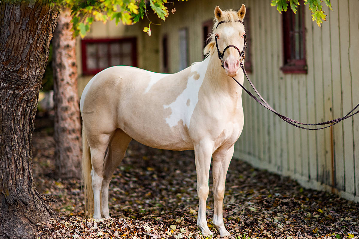 "Lacey, a palomino paint, is in ""amazing"" shape now, compared to when she was rescued in August 2015. (Leanne Peniuk photo)"