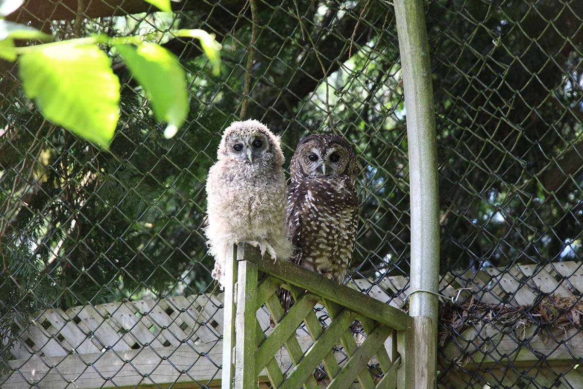 The Northern Spotted Owl breeding program based in Langley is hosting an online auction in support of the endangered species. The auction ends Dec. 1, 2020. (Jasmine McCulligh/Special to Langley Advance Times)