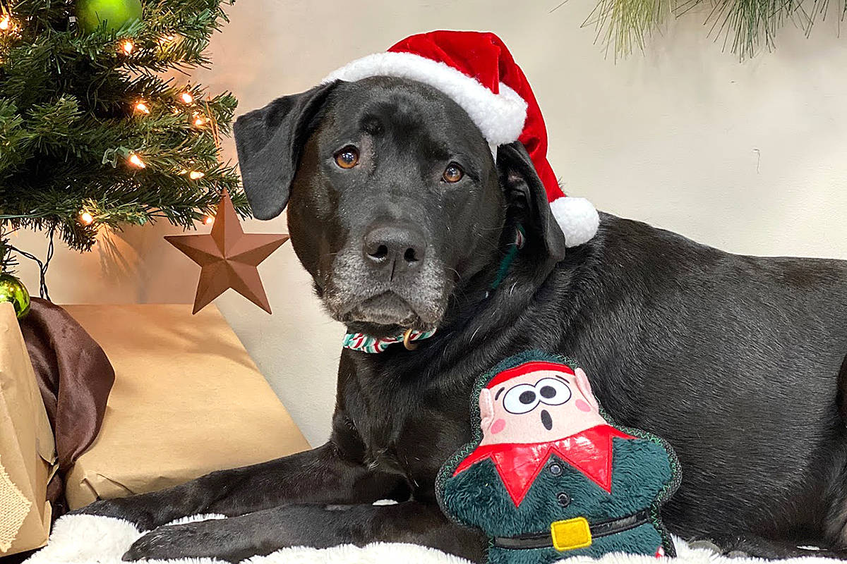 Langley Animal Protection Society is asking people to think about the animals in need this holiday season, offering a number of ways to help. (Drew Harkness/Special to Langley Advance Times)