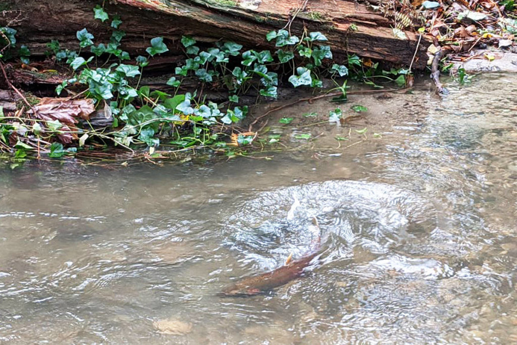 A salmon splashes in Langley's West Munday Creek, thanks to the Township fixing five plugged culverts earlier this summer (Marlee St. Pierre/special to Langley Advance Times)