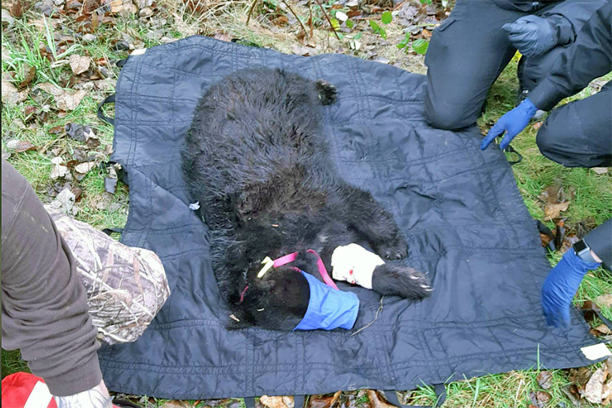 ' Beary' the bear sported a bandage on one paw after his capture on Nov. 23 in the Lower Mainland, the first joint operation by Langley's Critter Care and provincial conservation officers (Critter Care Facebook image)