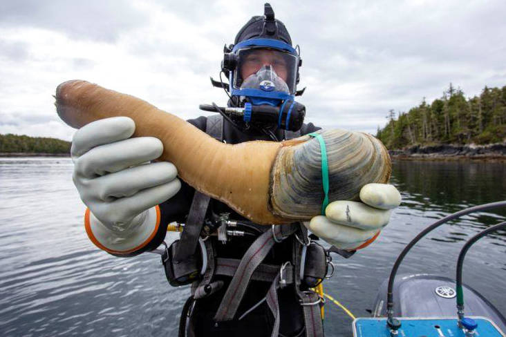 A diver presents a geoduck clam for the camera during harvest off the coast of British Columbia. (Maxwell Hohn photo)