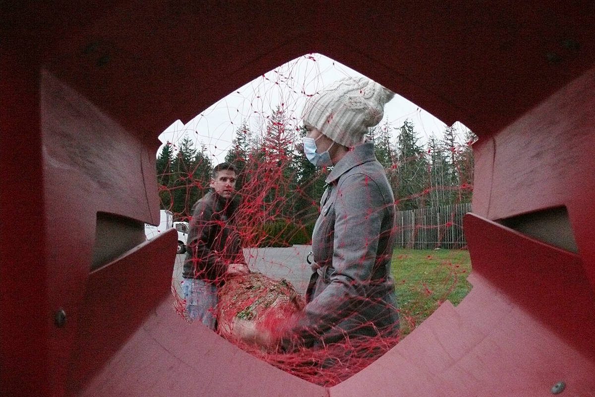 Diana Cobaschi helped a family push their purchase through a tree bailer to compress the branches and wrap the tree in mesh for easier transportation at the Tannenbaum Tree Farm at 5398 252 St in Aldergrove on Sunday, Nov. 29, 2020 (Dan Ferguson/Langley Advance Times)
