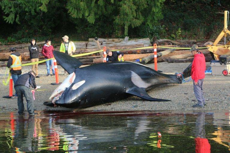 An 18-year old male southern resident killer whale, J34, is stranded near Sechelt in 2016. A postmortem examination suggests he died from trauma consistent with a vessel strike. (Photo supplied by Paul Cottrell, Fisheries and Oceans Canada)