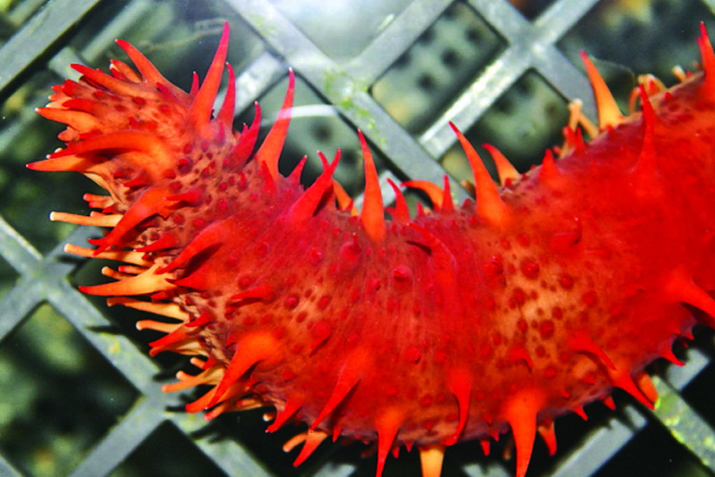 Like chicken, the neutral flavour of giant red sea cucumber allows it to absorb the flavours of the dish. (C. Pearce/Fisheries and Oceans Canada photo)