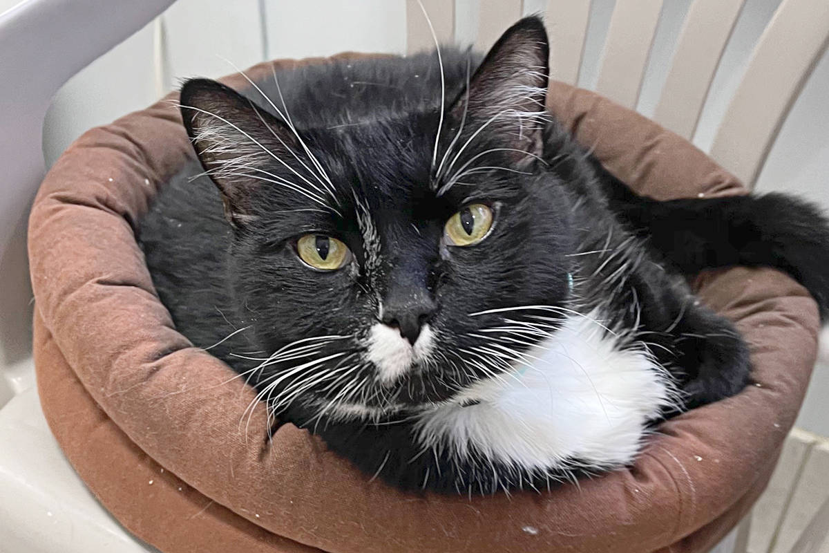 Raider is one of the cats available for adoption at the CARES cat shelter. (CARES website)