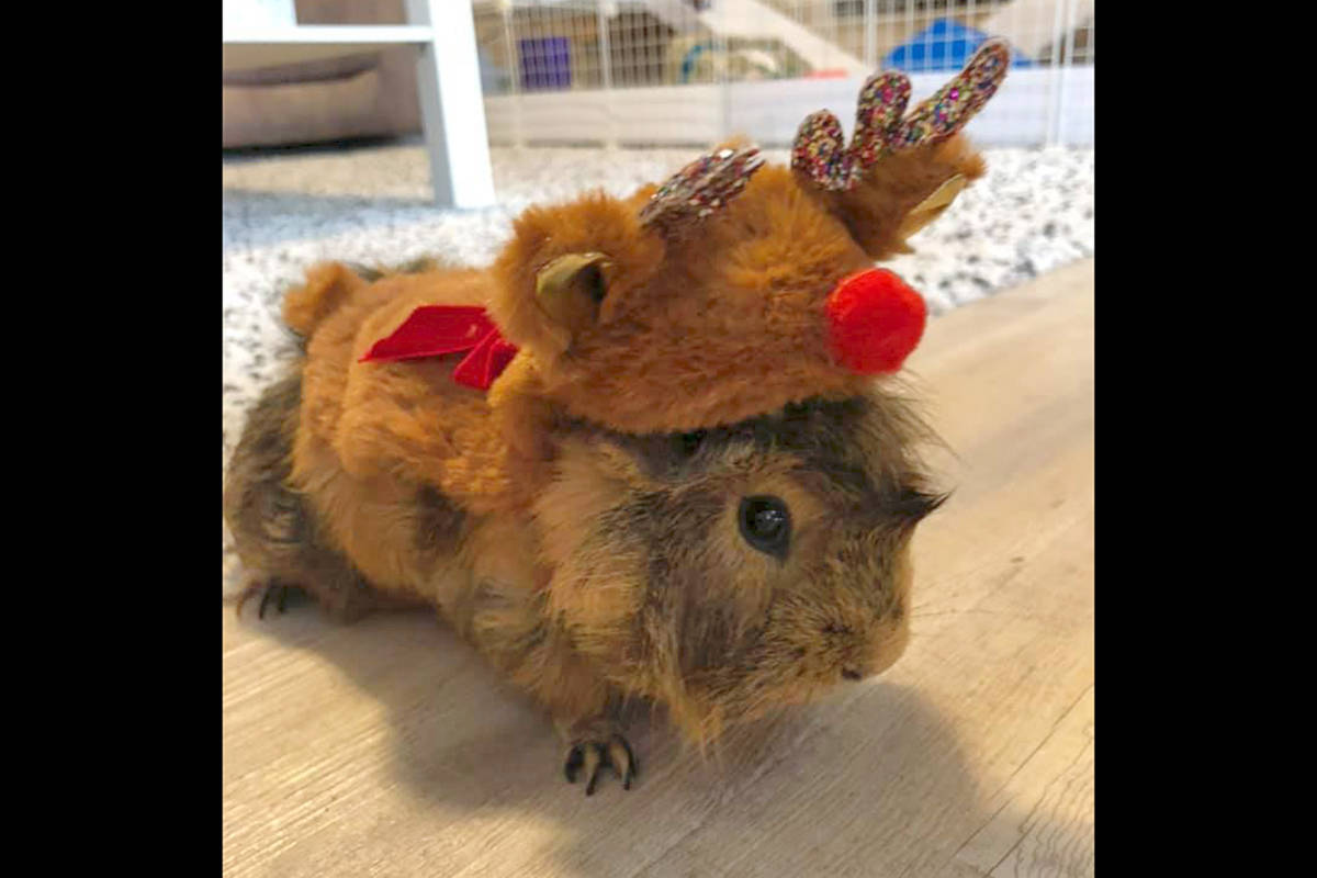 Brenda Archer was able to get a costume on her guinea pig.