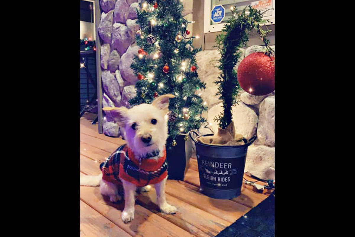 Karen Roberts: My sweet boy Korby with Christmas trees just. His size