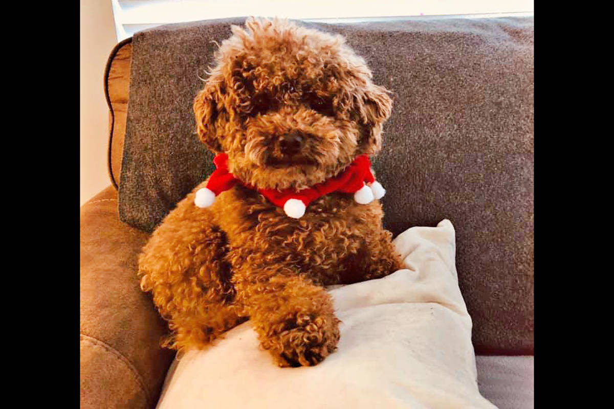 Jenny Green's dog Paddington tried on a festive collar