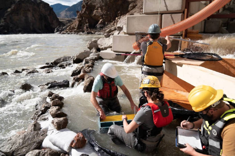 Crews affix radio tags to salmon at the Big Bar landslide site 100km north of Lillooet this summer. Fisheries and Oceans Canada has approved the construction of a permanent fishway at the site. (Fisheries and Oceans Canada photo)