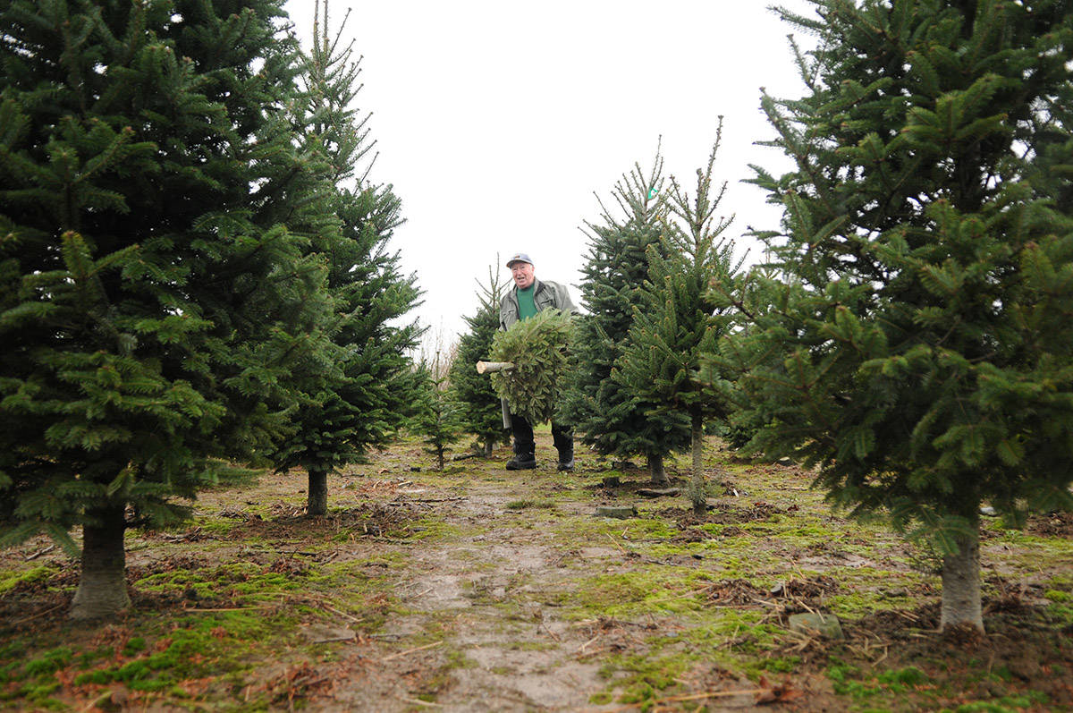 "Jerry Martin hauls a freshly cut fir tree through rows of evergreens at Pine Meadows Tree Farms in Chilliwack on Dec. 16, 2019. Saturday, Dec. 19 is ""Look For an Evergreen Day."" (Jenna Hauck/ Chilliwack Progress file)"