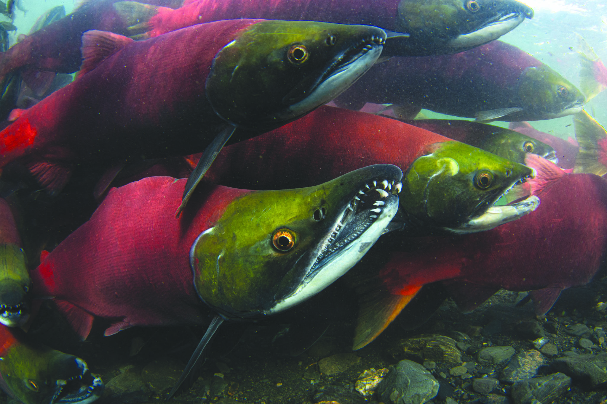 A new database from UBC researchers is offering a window into the diets and lives of North Pacific salmonas they travel thousands of kilometres through different ecosystems and conditions. (Photo courtesy Kenny Regan)