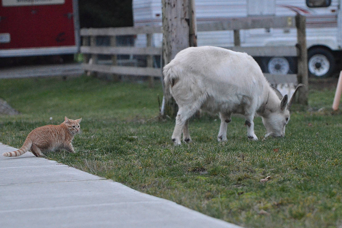Dutch, a five-and-a-half-month-old kitten, repeatedly tried to stalk a goat he discovered in his Murrayville neighbourhood. The goat did not notice. (Matthew Claxton/Langley Advance Times)